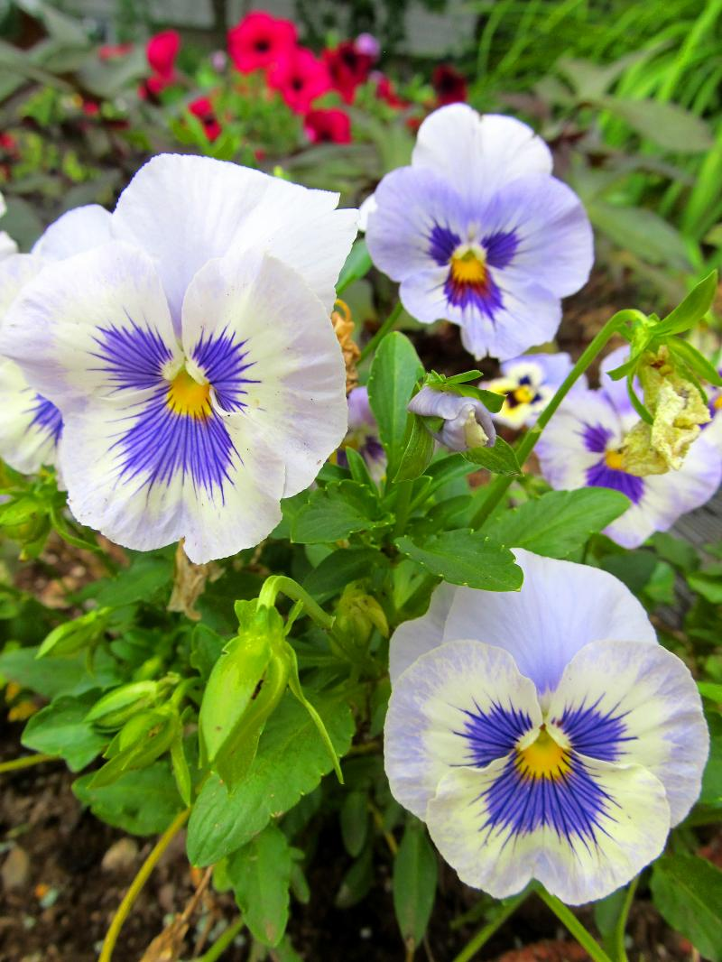 Copeman-Purple-Pansies