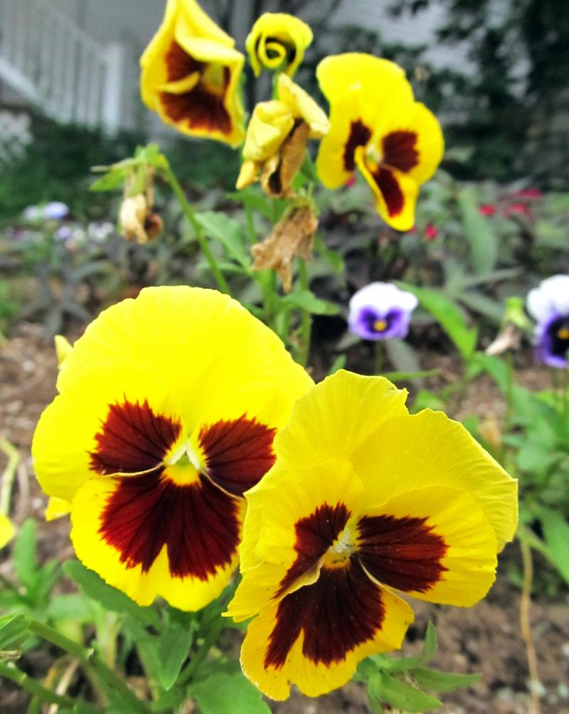Copeman-Yellow-Pansies